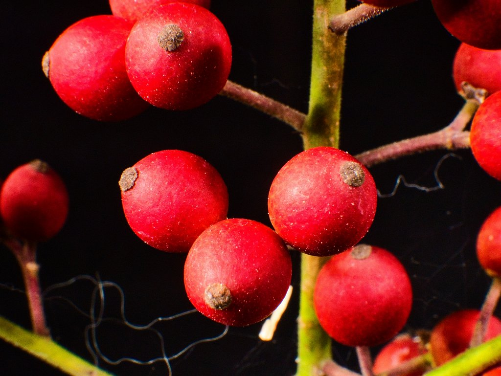 red-berries-close-up-2.jpeg