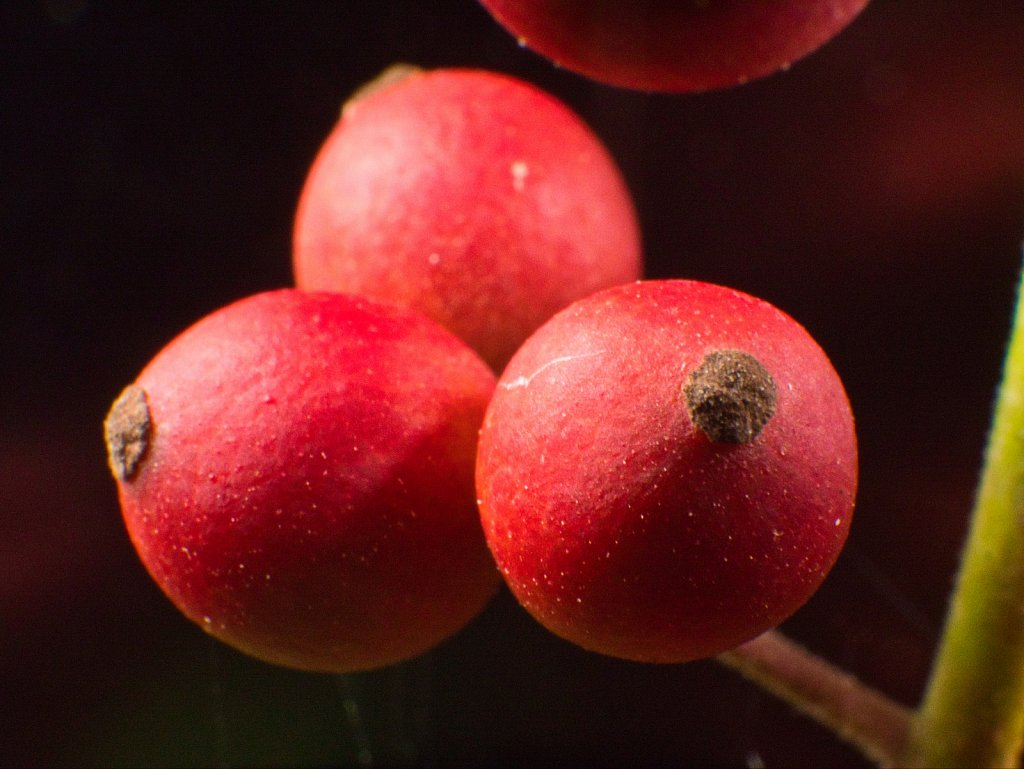 Tree-Red-Fruit-2.jpeg