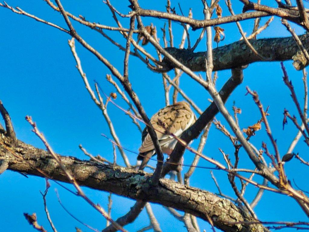 Hawk-in-Tall-Tree-Lumix-100-300mm.jpeg