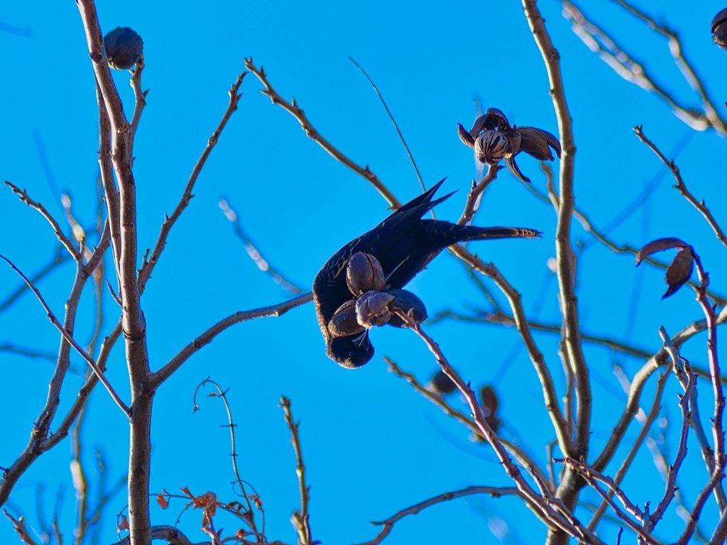 Bird-in-Branch-Eating-Walnuts-Lumix-100-300mm-00001.jpeg