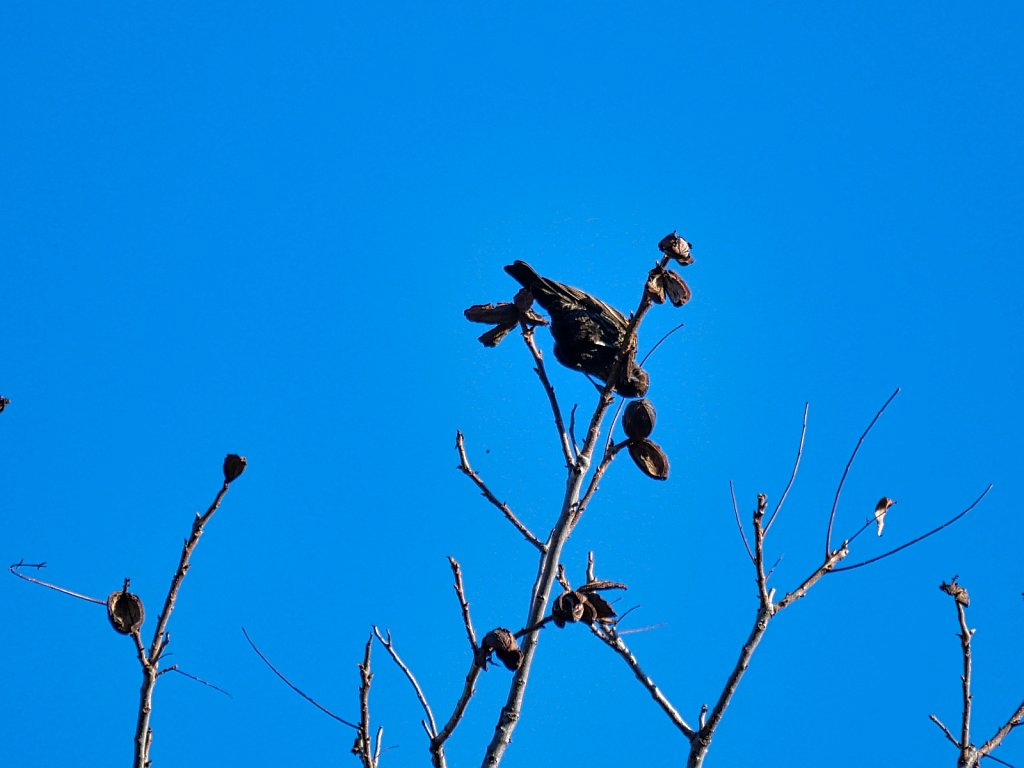 Bird-in-Branch-Eating-Walnuts-Lumix-100-300mm-00003.jpeg