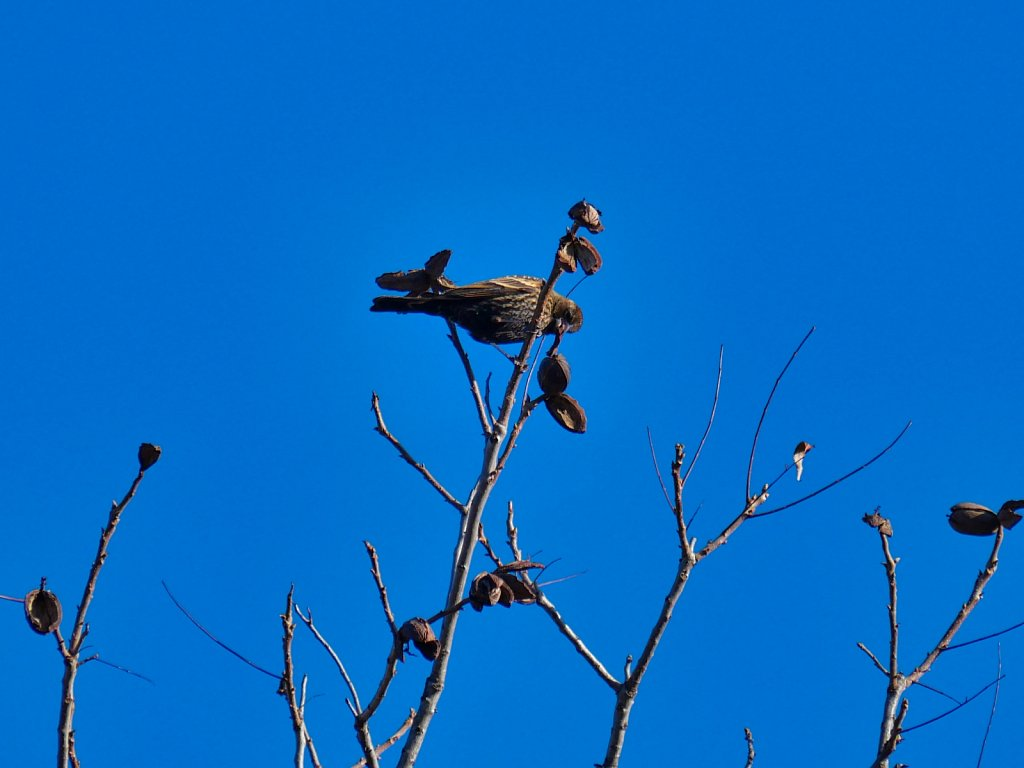 Bird-in-Branch-Eating-Walnuts-Lumix-100-300mm-00004.jpeg