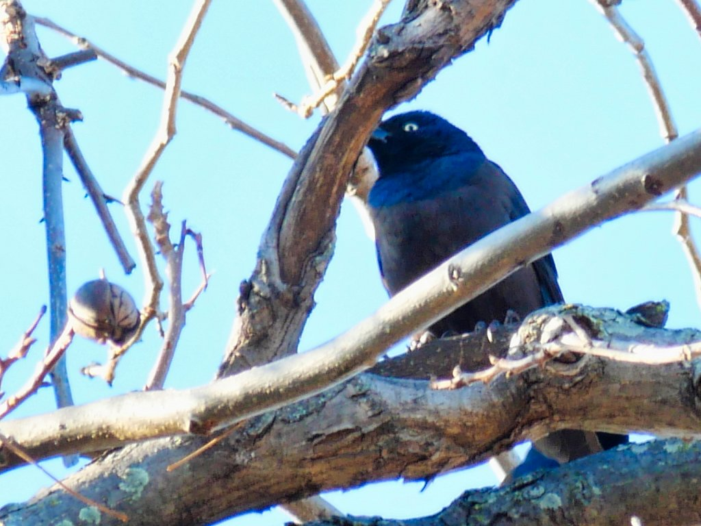 Bird-in-Branch-Eating-Walnuts-Lumix-100-300mm-00002.jpeg