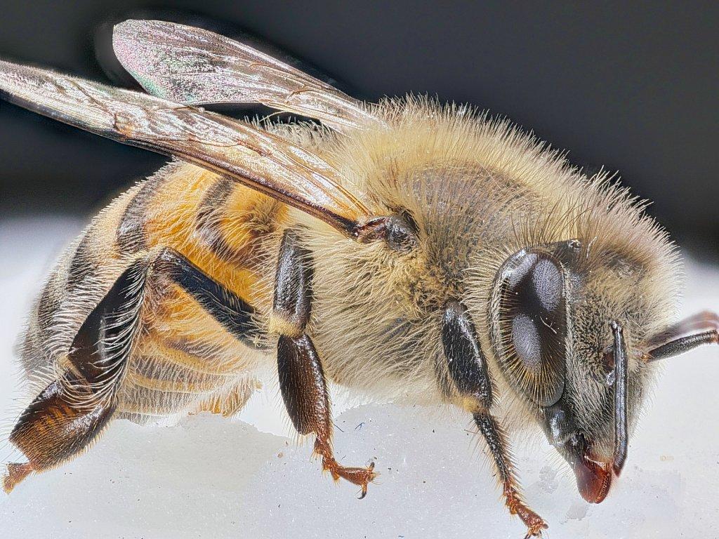 Bee on Sugar Patty