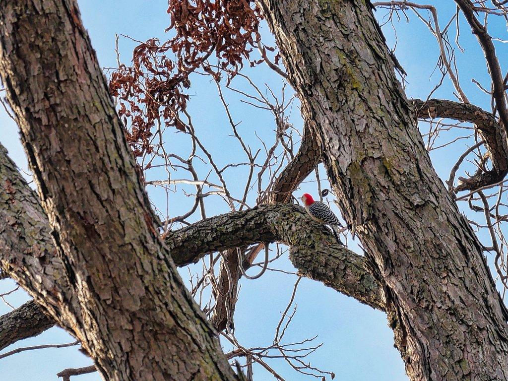 Woodpecker-in-Pecan-Tree-Lumix-100-300-00002.jpeg