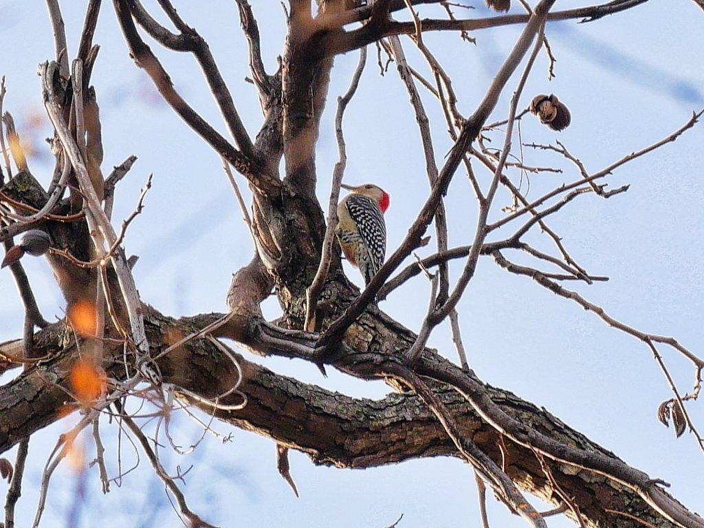 Woodpecker-in-Pecan-Tree-Lumix-100-300-00004.jpeg