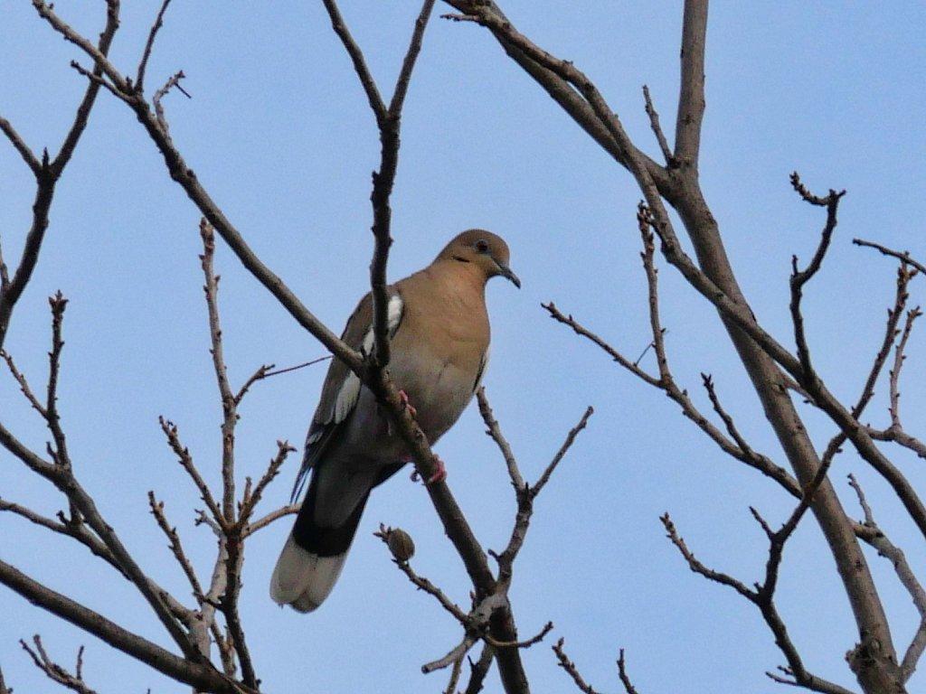 Pigeon-In-the-Tree-4.jpeg