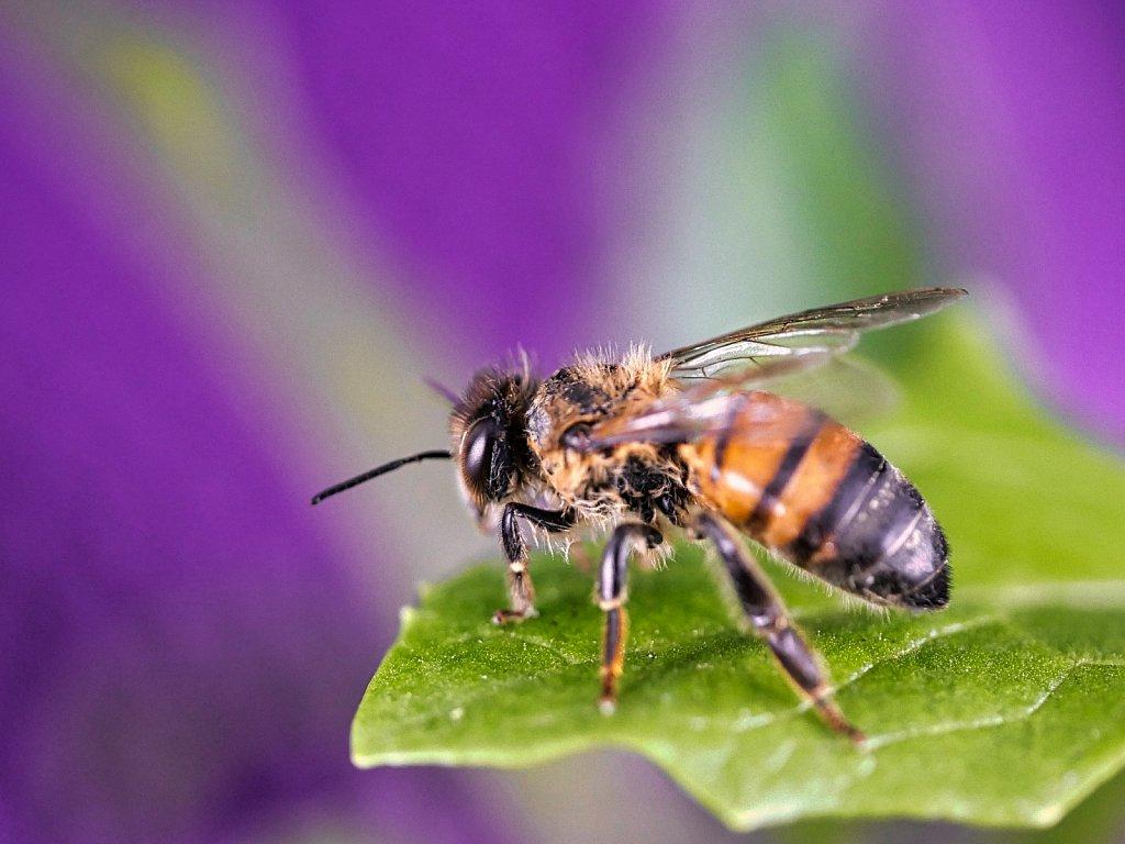 Bee on Salad Leaf Purple Background