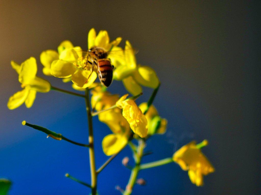 Bee-on-Yellow-Flowers.jpeg