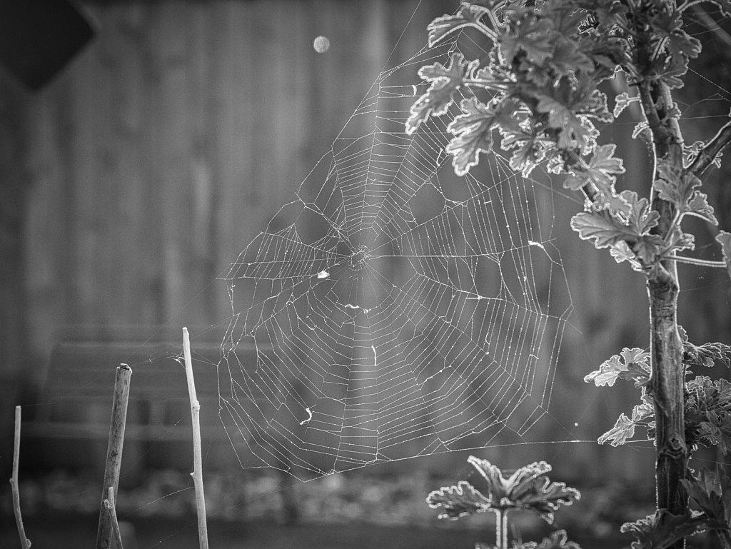 Spiderweb BW