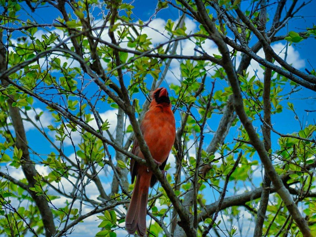 Red-Bird-on-Tree-1.jpeg