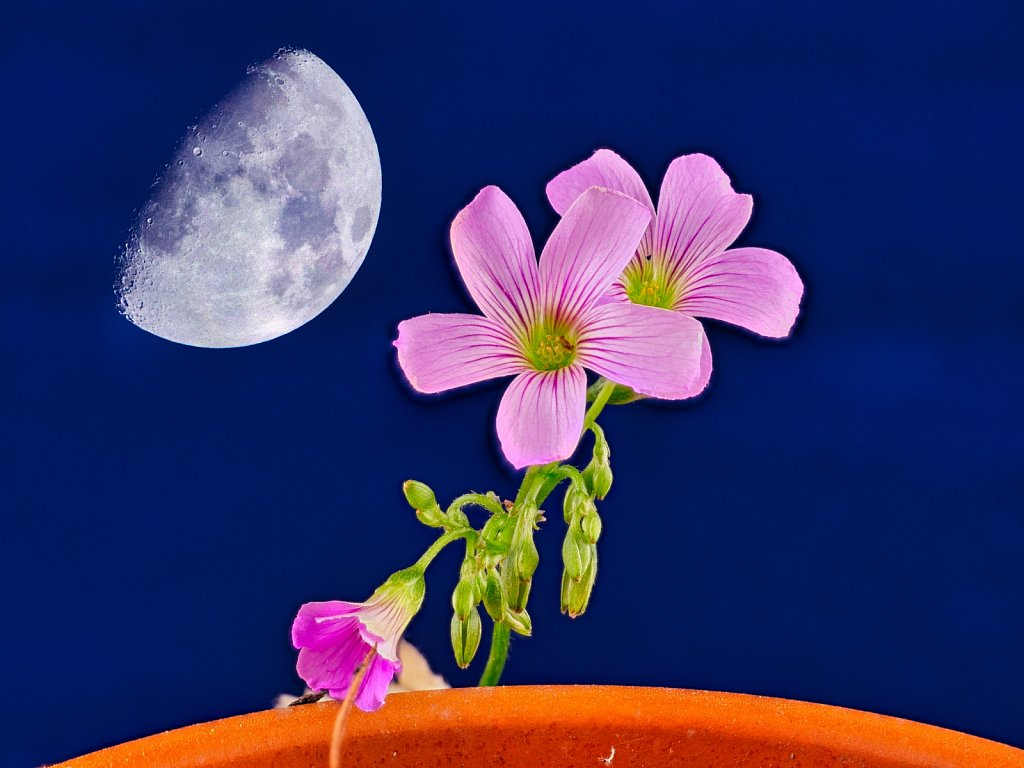 Pink-Wild-Flower-Macro-Blue-Moon-Background.jpeg