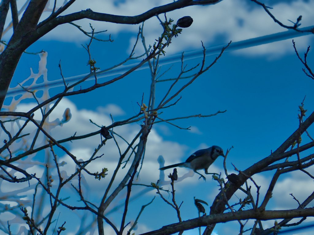 Blue-Bird-Jumping-on-branches.jpeg