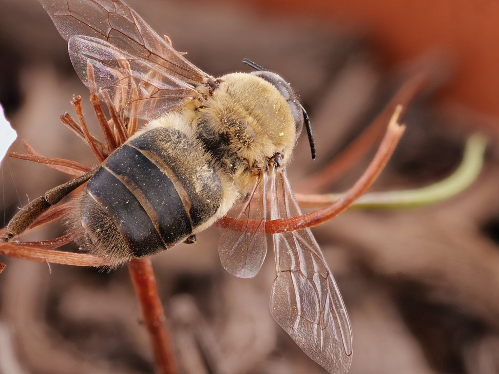 Dead-Male-Bee-Top-Macro.jpg
