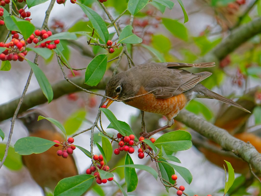 American Robin Migrating