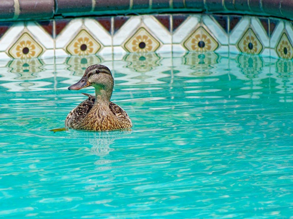 Ducks in the Pool