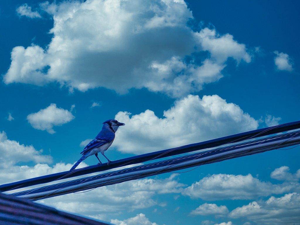 Blue-Bird.jpeg