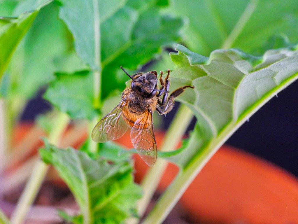 Bee on Sallad Leaf